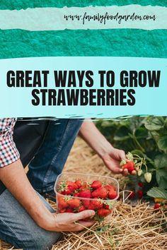Best Ways to Grow Strawberries in Containers - - Best way to grow strawberries! See the many ways of growing strawberries in containers, strawberry planters and grow strawberries in pots. Strawberry Price, Strawberry Planters, Strawberry Garden, Types Of Strawberries, Growing Strawberries In Containers, Container Gardening, Gardening Tips, Vegetable Gardening, Flower Gardening