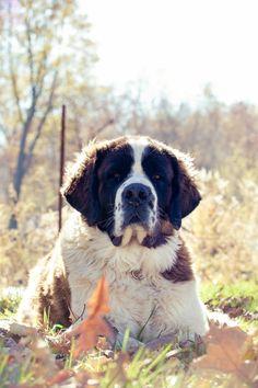 handsomedogs:    Saint Bernard / / Aga D