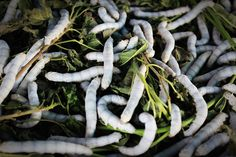 The story of silkworm.how silk form from silkworm.How silkworm is treated with bad behaviour or treatment. Silkworm Moth, Orlando, Mulberry Leaf, Fruit Photography, Blog Images, Life Cycles, Worms, Animals, Naturaleza