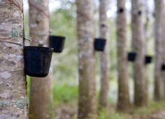 Latex, the base ingredient in rubber, is harvested from hevea trees much like maple syrup.