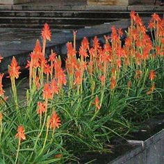 Aloe Topaz features beautiful long lasting pinkish orange flowers from mid Summer to early Winter, perfectly complementing the elegant grass-like leaves Is It Spring Yet, Garden Express, Orange Flowers, Front Yard Landscaping, Garden Inspiration, Topaz, Grass, Leaves, Landscape