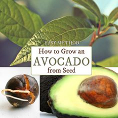 If you've been trying to root avocado seeds by suspending them over a glass of water with toothpicks, there is an easier way. Make use of all those avocado pits and grow free houseplants.