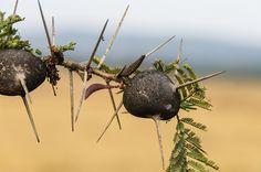 Whistling Thorn Acacia Tree | Flickr: Intercambio de fotos
