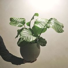 Calathea Orbifolia . . . . #theplantsociety #theworkershouse #plantstagram #plantsofinstagram #houseplants #indoorplants #houseplantsofinstagram #plantsmakepeoplehappy #plantsarefriends #botany #plantgoals #greenery #plants #plantbased #aroidaddicts #foliage #leaf #plantlife #urbanjunglebloggers #plantparenthood #calathea #nothingisordinary #liveauthentic #植物のある暮らし #정원 #観葉植物 #plantas #pflanzen #Regram via @theplantsocietyau