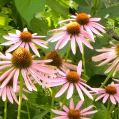 Coneflowers...love them