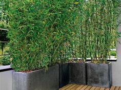Bamboo hedge in pot for the balcony Garden decoration - Elle Decoration Bamboo hedge i