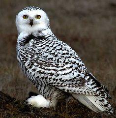 mottled black white snowy owl