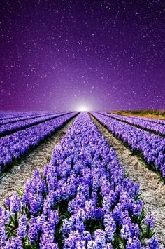 Fields of Purple Lavender