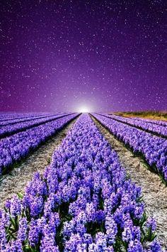 Lavender Fields - France