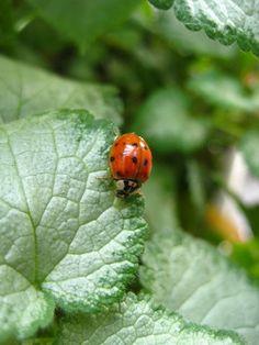 ladybugs and my ladybug tat....:)