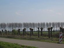 Newly pollarded trees between Sluis and Aardenburg in Zeeland.