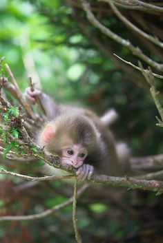 Baby Japanese Macaque (Snow Monkey)