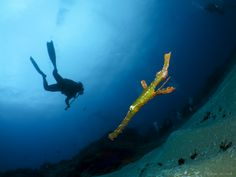 Back to Basics Adventures - Diving Ponta do Ouro - Mozambique. Some amazing reef diving with plenty of macro opportunities. Here is a Robust ghost pipefish taken with a Canon S110 and Inon bug lens.