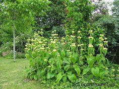 Phlomis Russeliana of brandkruid: ideaal voor een ecologische siertuin