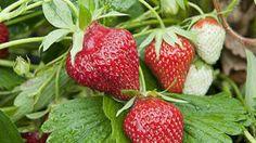 Culture de fraisiers sur un mur vertical