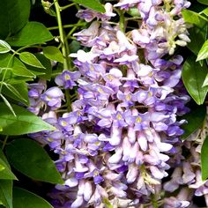 The Best Wisteria to Plant for Beautiful Spring Blooms Red Creeping Thyme, Creeping Phlox, Rock Garden Plants, Shade Garden, Lavender Flowers, Red Flowers, Beautiful Flowers, Types Of Tulips, Hydrangea Petiolaris