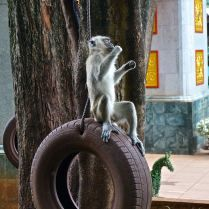 Chilling time on a tire swing for a  macaque in Malaysia. Trueworldtravels
