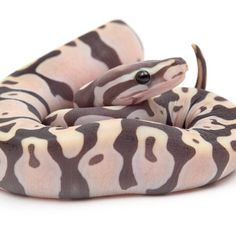 scaleless ball python, photo credit: snakebytes.tv