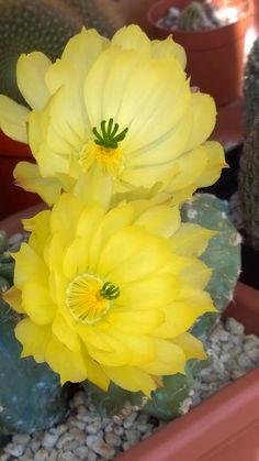 Echinocereus subinermis