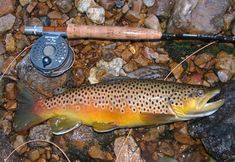 brown trout - Google Search