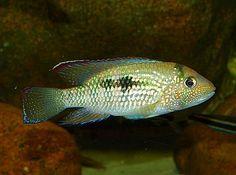 Chaetobranchus flavescens   30 cm