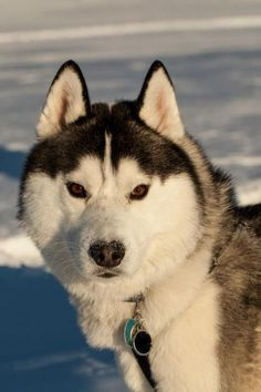 See more Why do Siberian Huskies have wolf like appearance?
