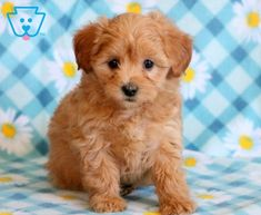 Willow | Maltipoo Puppy For Sale | Keystone Puppies Baby Puppies For Sale, Maltipoo Puppies For Sale, Cute Dogs And Puppies, Adorable Animals, Funny Animals, Funny Pets, Cute Babies, Teddy Bear, Children