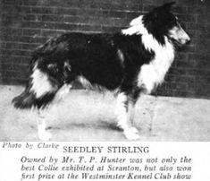 Seedley Stirling. Collie. Vintage photo.