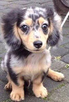 Black and tan dappled dachshund pup. MY DREAM PUP! Dachshund Breed, Dachshund Funny, Dachshund Love, Dapple Dachshund Miniature, The Animals, Cute Baby Animals, Cute Puppies, Cute Dogs, Dogs And Puppies