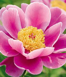 Peonies! A fragrant favorite. Too bad the ants love them equally as much.