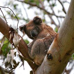 D R O P  B E A R #dropbear #jokes #koala #wildlife # #fluffy #Australia #travels #greatoceanroad #capeotway #nationalpark #Victoria #caravaning #memories #takemeback #nikon #nikonphotography #nikonadventures #nikonaustralia by claire_elise_photos