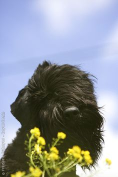 Our Billy is home and I'm a happy momma cause my honeys are so happy!  (Black Russian Terrier)