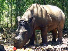 Sumatran rhinos are one of the world's most endangered mammals. www.savetherhino.org works to save all 5 species, and RHINO FORCE bracelets support SRI.