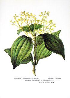 Cinnamon Print -  Cinnamomum zeylanicum - Vintage 1957 Botanical Print with Bible Verse. $10.00, via Etsy.