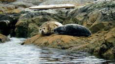 Two Harbour Seals hauled out