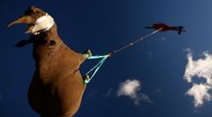 A black rhino being transported by helicopter in South Africa. Nineteen of the critically endangered animals established by the WWF Black Rhino Range Expansion Project were moved from the Eastern Cape to a new location in Limpopo province via helicopter. African Rhino, Save The Rhino, Science Photos, Photos Of The Week, Endangered Species, Miyazaki, Natural World, Location, Minneapolis