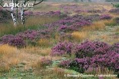 Image result for scottish heather plant