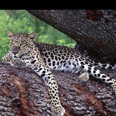 Love cheetahs