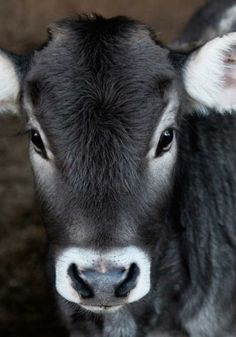 I like baby cows! Baby cows seriously their called calves Farm Animals, Animals And Pets, Cute Animals, Pretty Animals, Colorful Animals, Black Animals, Wild Animals, Beautiful Creatures, Animals Beautiful