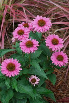 Echinacea, Gemini Pink - Coneflower, 1 Gal Pot