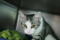 Emmalee is an adoptable Domestic Short Hair Cat in Frankfort, KY. Foster or adopt today - Transportation may be available - just ask. Contact: lonearrow@bellsouth.net Franklin County Humane Society 10...