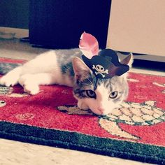 the pirate funny cats with tiny hats