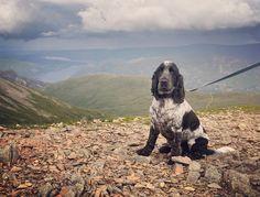 Remember my birthday when I walked up a mountain. #cockerspaniel #cockersofinstagram #blueroan #dogsofinstagram #helvellyn