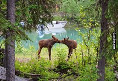Hot teenage Alaskans moose making out by the lake. - #funny, #lol, #humor, #jokes, #pics, #pictures,
