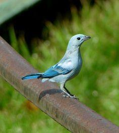 Tangara sayaca' (Linnaeus, 1766)], também conhecido como sanhaço-cinzento,e no Nordeste do Brasil como Sanhaçu-azul,é um pássaro da família Thraupidae. O sanhaço-cinzento mede de 16,5 a 19 cm de comprimento, pesando em média 42 gramas. Possui plumagem cinzenta fosca e ligeiramente azulada, com partes inferiores mais claras.