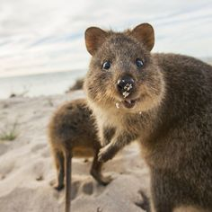 Quokka:Talk About Enthusiastic