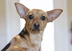 Pictures of John John a Miniature Pinscher for adoption in Avon, NY who needs a loving home.