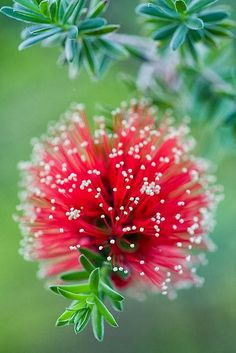 Bottlebrush Kunzea baxteri