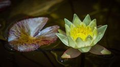 LES NÉNUPHARS – NYMPHAEA Site Photo, Plants, Aquatic Plants, Beautiful Flowers, Plant, Planets