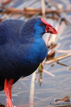 Calamón (Porphyrio porphyrio) Purple Swamp-hen by Brookei, via Flickr